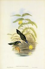 "1990 Vintage HUMMINGBIRD #43 ""WEDGE TAILED SABRE WING"" GOULD COLOR Lithograph"