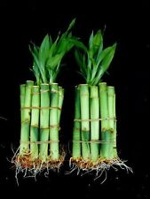 Wholesale Wedding Favors 50 Stems of Lucky Bamboo 4 inch