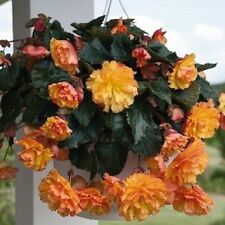 15 Seeds Begonia Illumination Golden Picotee Pelleted Seeds flower seeds