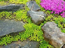 Sedum Sarmentosum Fast Spreading Perennial Ground Cover Hardy Cuttings