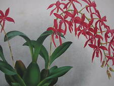 Linden Lindenia Large Print Orchid Mesospinidium Vulcanicum - 1888