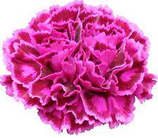 300 Graines de Oeillet Violet / Fleurs Coupées