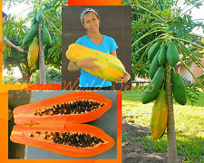 Unusual HUGE torpedo shape Carica Papaya 'Burliar Long' on a DWARF TREE! seeds.
