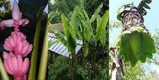 3 schnellwüchs. frostharte Bananen-Arten für den Garten