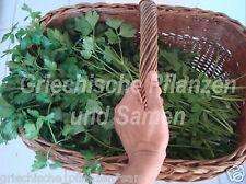 italienische Petersilie glatt *Riesenblätter 30 cm hoch 100 frische Samen Balkon