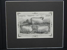 Sheep c1890 Matted Ready To Frame S3 #01 Cotswold Sheep