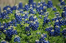 "400+ BULK HEIRLOOM WILDFLOWER SEEDS - ""TEXAS BLUEBONNETS"" STATE FLOWER OF TEXAS!"