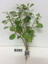Ludwigia palustris red - Bundle Plant B285