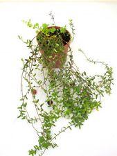 Gojibeere Gemeiner Bocksdorn Lycium barbarum 40 cm +/- Blumenversand