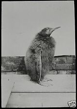 VICTORIAN Glass Magic Lantern Slide KING PENGUIN CHICK C1890 BIRD BIRDS ZOO