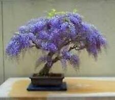 500 Empress Tree seeds, Princess Tree. Tree seeds that can be used for bonsai..