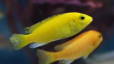 """Live Colorful African Cichlid -2"""" Yellow Lab - Peaceful Beginner Freshwater Fish"""