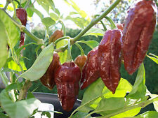 Big Bang Chocolate Naga Chilli Pepper Seeds x 10