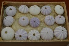 100 PCS BULK PURPLE SEA URCHINS SEA SHELL BEACH WEDDING NAUTICAL #7397