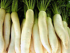 "600 Seeds "" Winter White Radish "" Daikon, Japanese - Chinese - Oriental Radish"