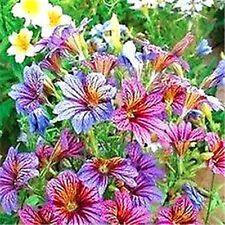 FD1662  □Chile Morning Glory Seed Petunia Colorful Garden Flower ~1 Pack 30 Seed