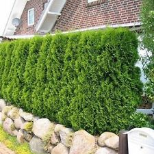 American Arborvitae White Cedar Seeds (Thuja occidentalis) 50+Seeds