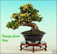 WINTERGREEN BARBERRY - Berberis julianae 30 seeds Bonsai tree beauty shrub