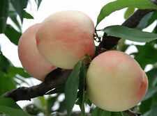 1 Pack 4 Peach Tree Seeds Sweet Peaches Peach Heirloom Organic S023
