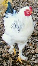 Six (6+) Light Brahma Cross White Leghorn Chicken Hatching Eggs