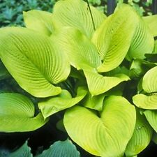 HOSTA PLANT KEY WEST. SHIPPING SPRING 2017 BUY 5 GET 1 FREE MY CHOICE