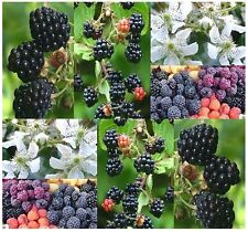 (20) Blackberry Shrub Seeds - Rubus allegheniensis - Combined S&H