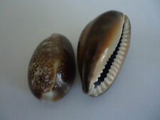 2 x Large Natural Sea Shell BROWN Beads Cowry Cowrie Shells No Hole(S001-05)