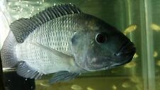 12 Blue Tilapia fry PURE STRAIN (1/4 to 1/2 inch) for Aquaponics