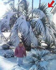 Die Himalaya Palme Samen / exotische Pflanzen für das Frühjahr den Garten Balkon