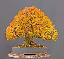 ARCE TRIDENTE trident  apto bonsai  100 Semillas Seeds