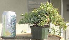 Juniper Conifers Pre Bonsai Shohin Mame Dwarf Nice Movement Trunk