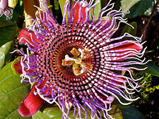 PASSIFLORA QUADRANGULARIS, 10 SEMI DI PIANTA TROPICALE