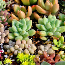 100PCS Seeds Mixed Succulents Seeds Rare Succulent Potted Plant Home Decor H