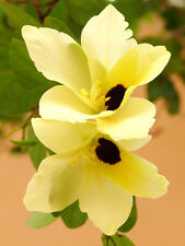Bauhinia Tomentosa, rare yellow bell ORCHID TREE flowering bonsai plant 25 seeds