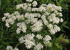 Gemeine Schafgarbe 600 Samen , Achillea Millefolium,   Heilpflanze