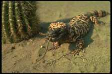 175022 Gila Monster Lizard Swallowing Mouse A4 Photo Print