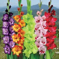 Flower Bulb - GLADIOLUS  - Large Flowering Mixed Colors Bulbs - Pack of 6 Bulbs