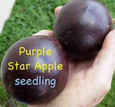 ~PURPLE STAR APPLE~ Caimito Chrysophyllum cainito Rare Fruit Tree LIVE PLANT