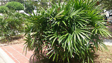 Mangrove Fan Palm - LICUALA SPINOSA - 10  Seeds - Tropicals