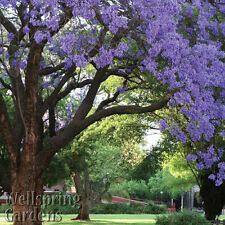 Jacaranda mimosifolia tree Live Plant Purple Flowering Brazilian Rose Wood