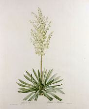 Yucca Filamentosa, from Les Liliacees Pierre-Joseph Redoute Pflanzen B A3 03106