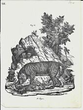 1837ca TIGRE litografia Magazzino Pittorico Universale Panthera tigris tiger