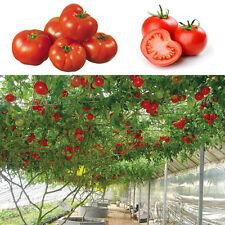 10pcs Seeds Süße Riesige Baumtomate Fruchtgemüsesamen