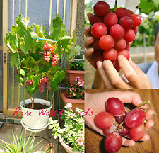 Unique! GRAPE 'Ishikawa Coral' (Vitis vinifera) JAPANESE Short vines! SEEDS.