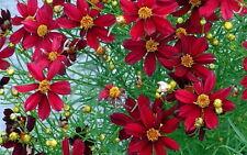Red Satin Coreopsis Tickseed Perennial Plant - Quart Pot