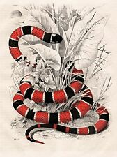 ART PRINT POSTER PAINTING NATURE SERPENT RED BLACK CORAL SNAKE NOFL0621