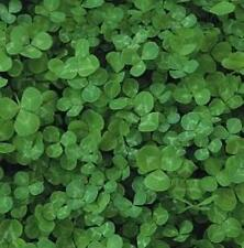 Green Manure Seeds - White Clover - 30,000 Seeds
