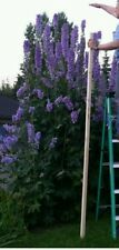 Delphinium GIANT mix! 3-6ft some taller! Hardy perennial! Fresh seeds! Flower.