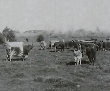 Cattle in Argentina, Keystone Magic Lantern Glass Slide