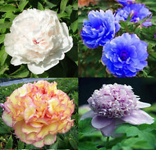 China's Peony Seeds Paeonia suffruticosa Tree 4 colours see picture  80 seeds
